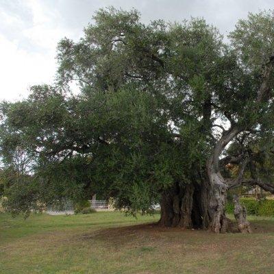 Olivo storico a Spalato, in Croazia