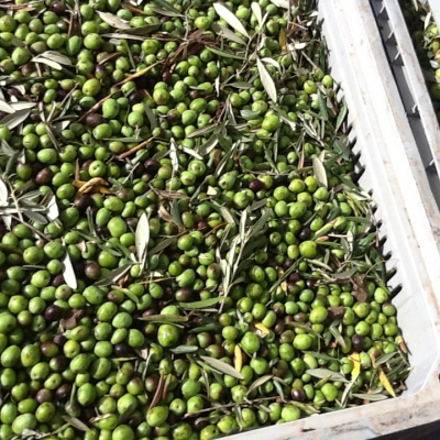 Olive presso il frantoio de La Goccia d'Oro