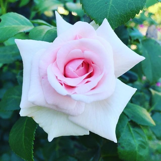 Una rosa è una rosa