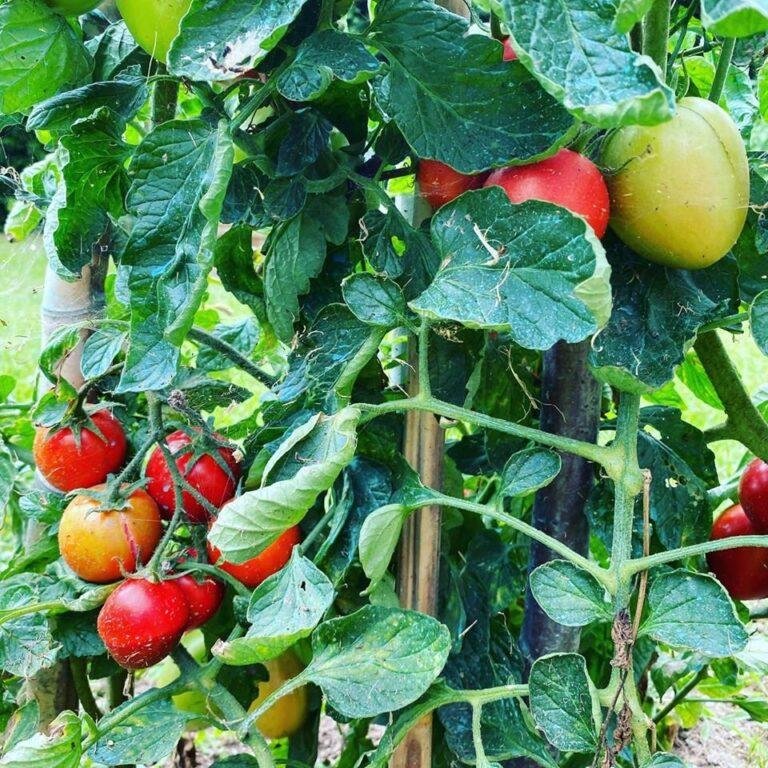 I pomodori li abbiamo, l'olio pure