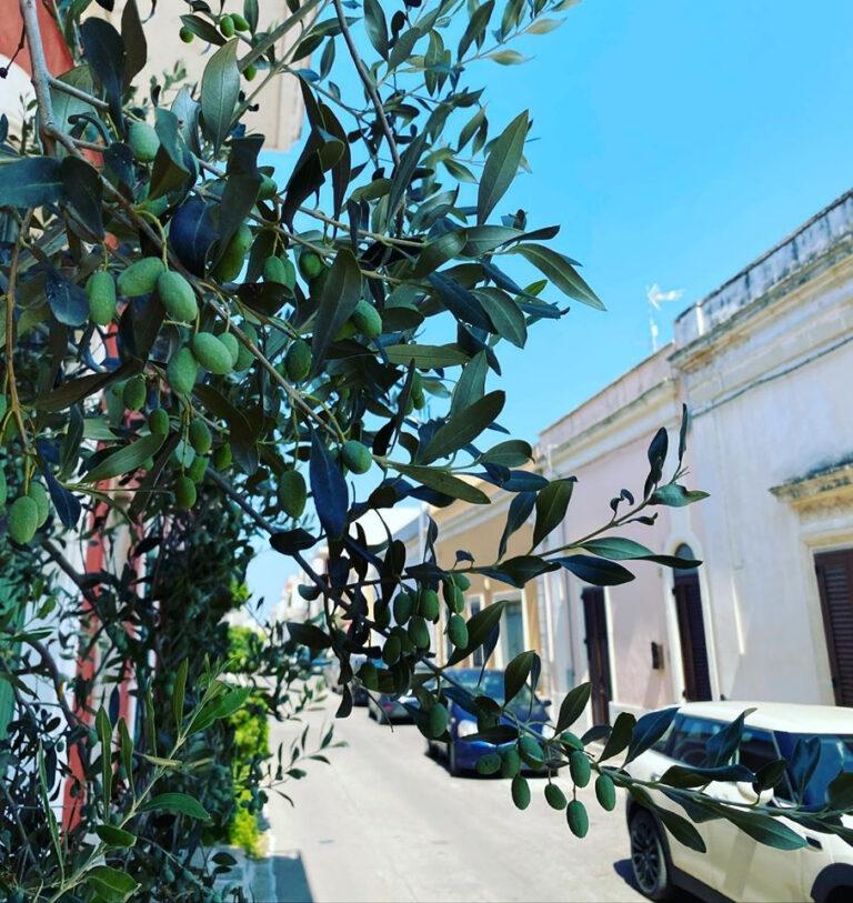 L'olivo ovunque
