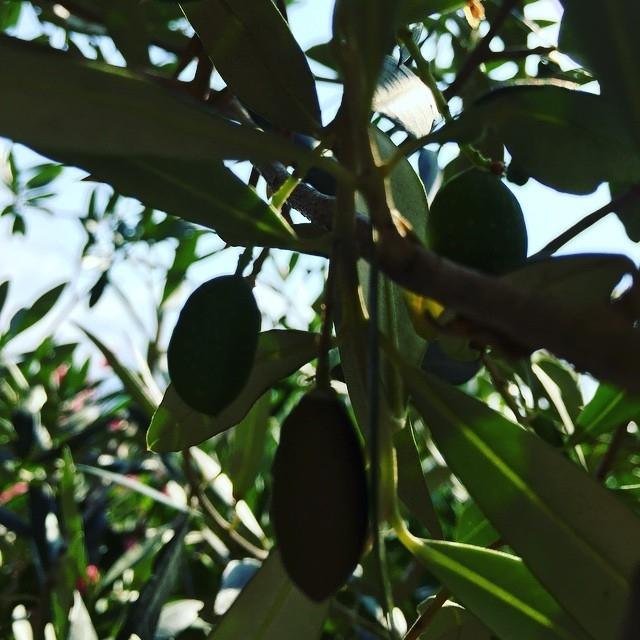 Pallide olivette