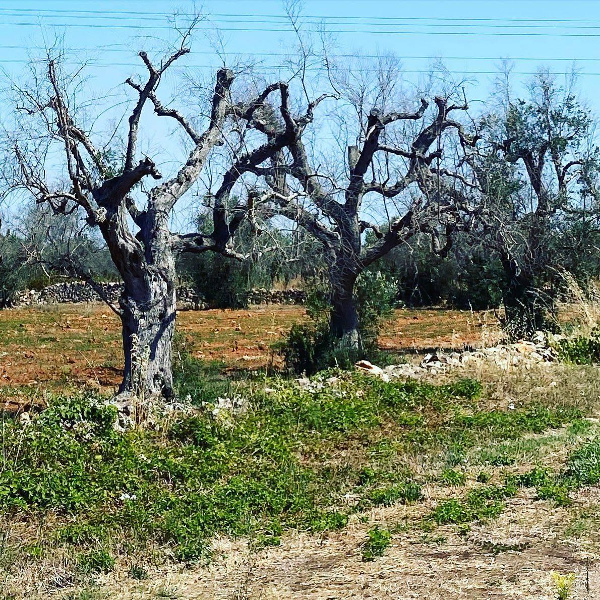 Verso quale futuro per gli olivi nel Salento?