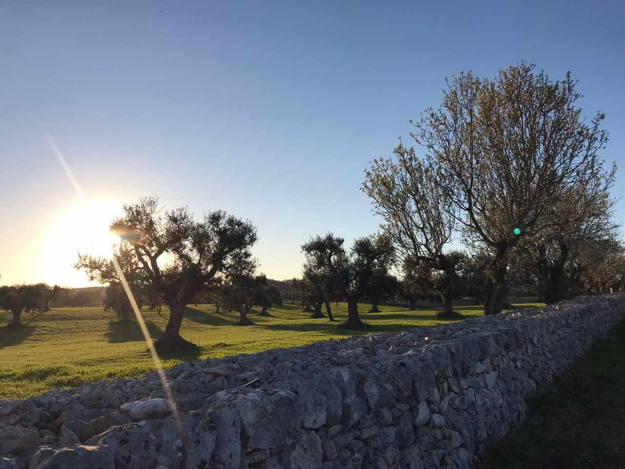 Gli olivi della Selva di Fasano