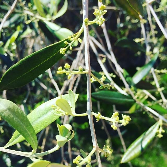 In attesa delle nuove olive