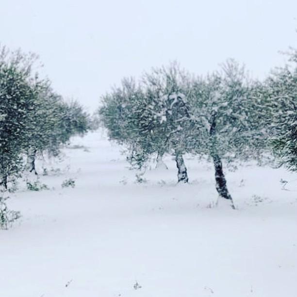 Olivi sotto la neve