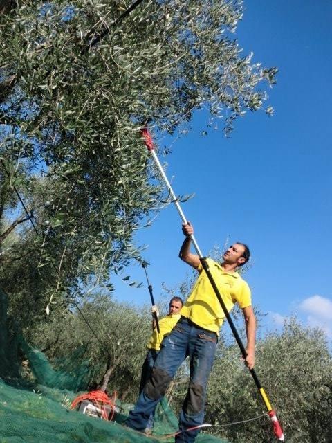 L'olivagione 2018 in Liguria