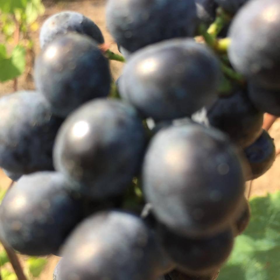 Ultimi chicchi d'uva