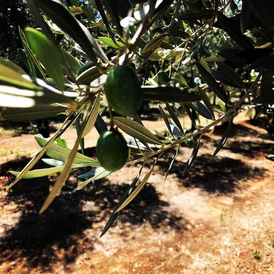 Cresci oliva, cresci