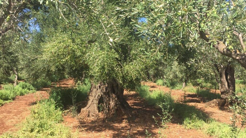 Olivi in ginocchio per siccità