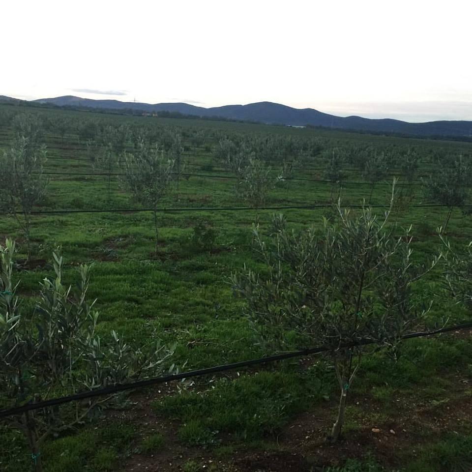 Nuovi olivi crescono