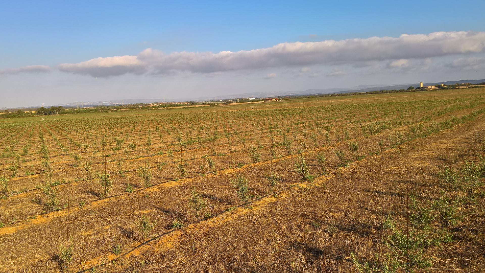 Nuovi olivi per il futuro