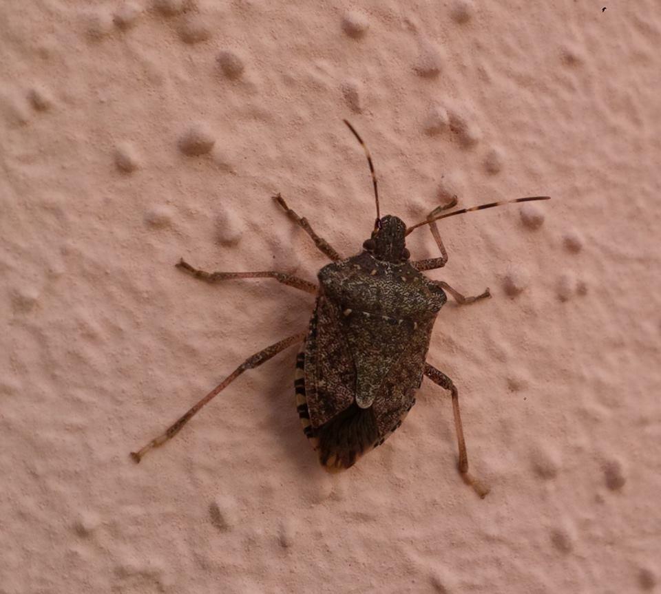 Halyomorpha halis