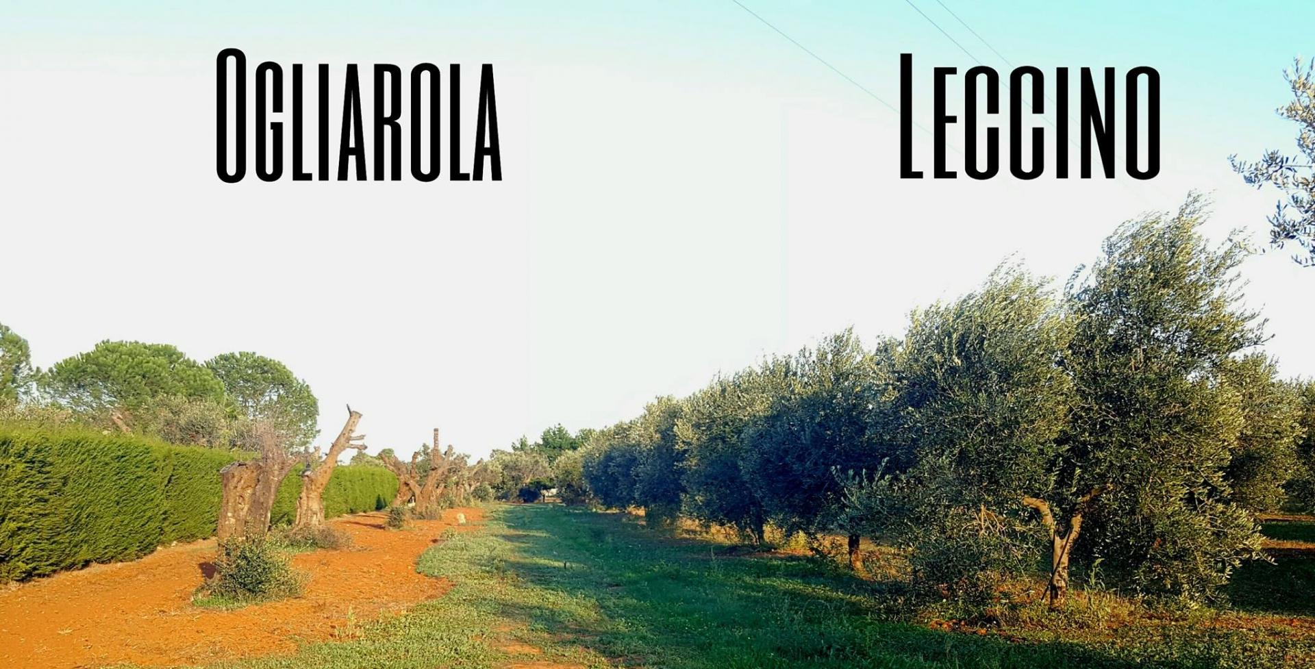 Olivi differenti