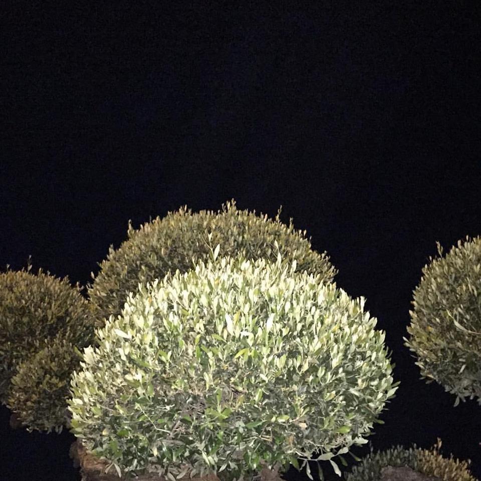 Teste di olivo viste di notte