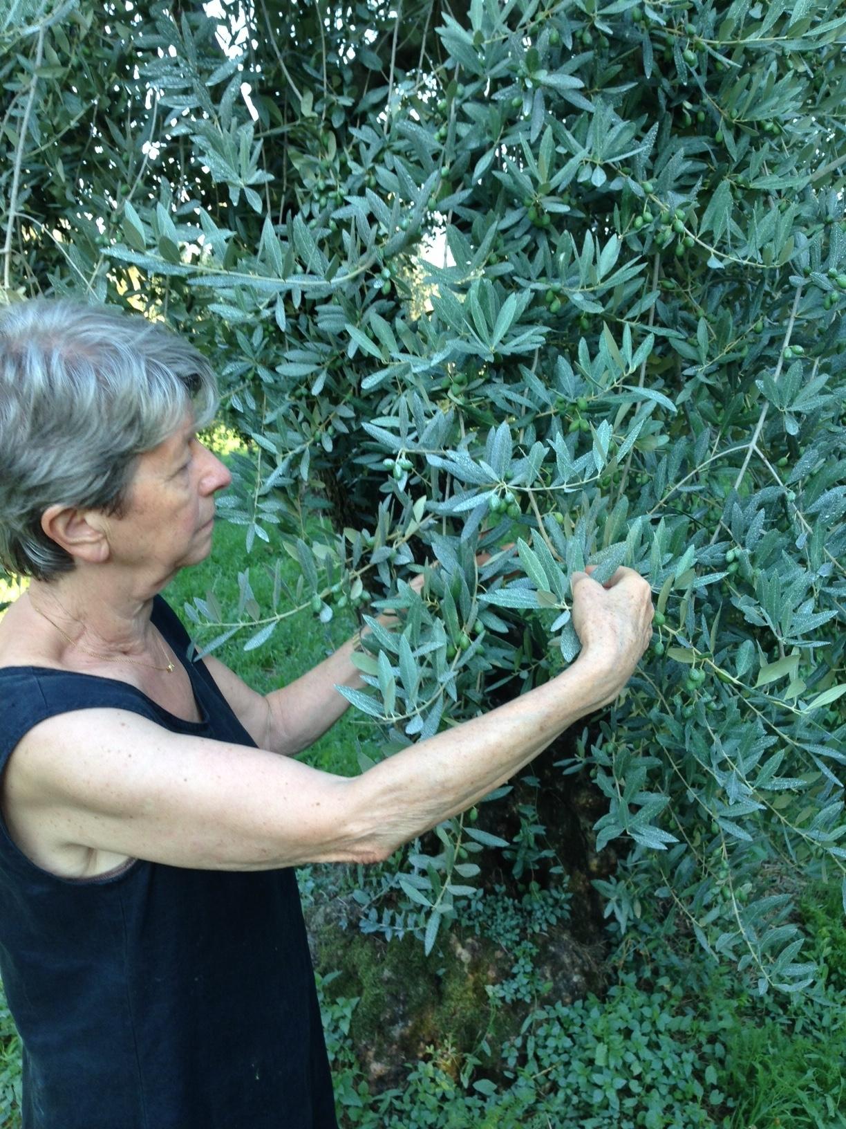 Neve d'agosto sugli olivi a Salò