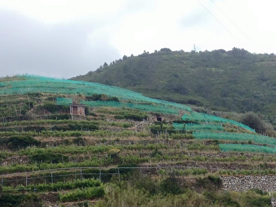 Viticoltura eroica in Liguria