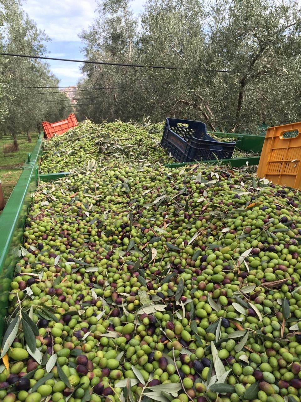 Un pieno di olive