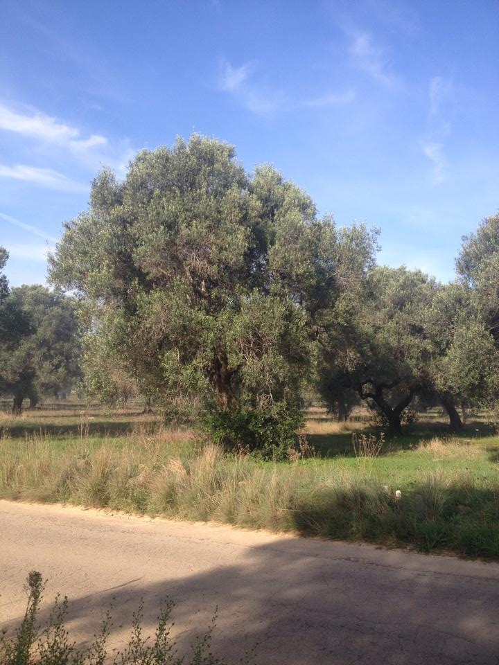 L'olivo barbuto e capellone