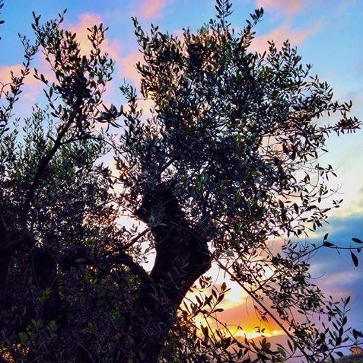 Il tramonto dietro l'ulivo