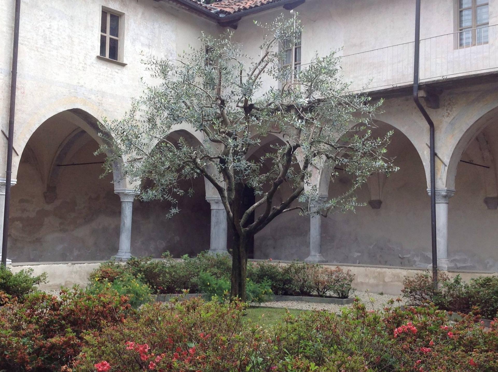 L'olivo dei monaci