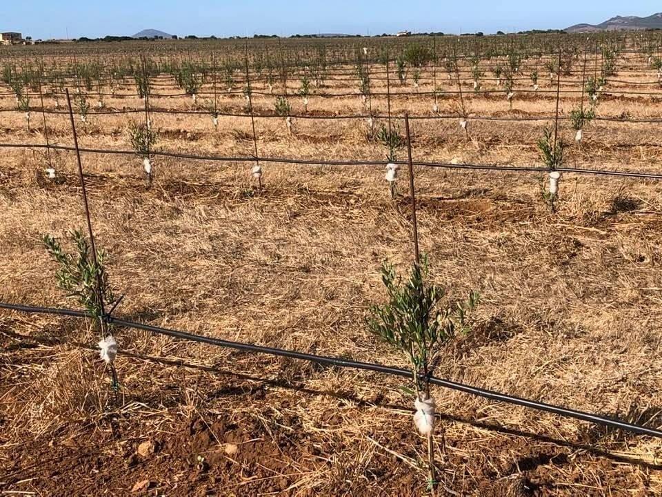 Nuovi oliveti in Sardegna