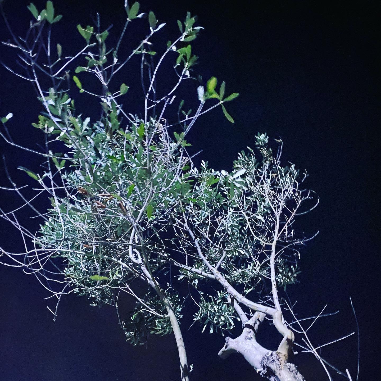 Notturno salentino con olivo